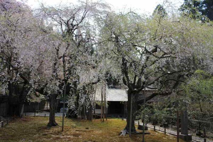 常照皇寺の庭園の桜の木々の様子です。