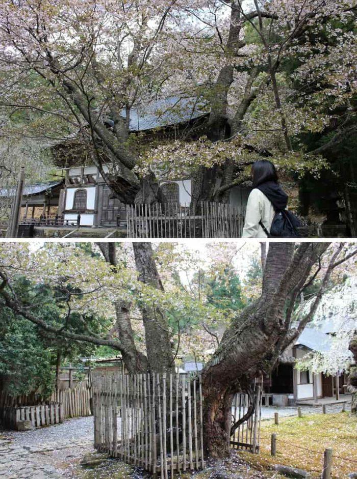 京都御所から株分けした「左近の桜」です。