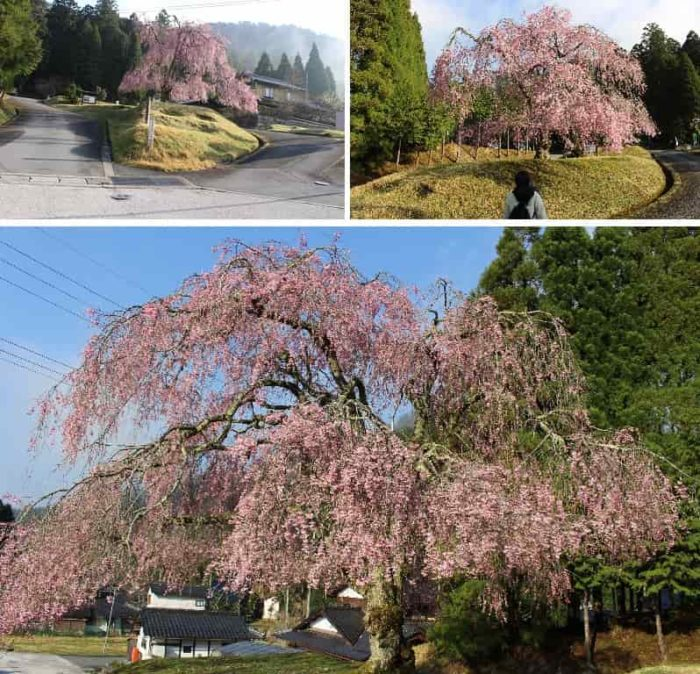 門前でお出迎えの八重紅枝垂桜です。