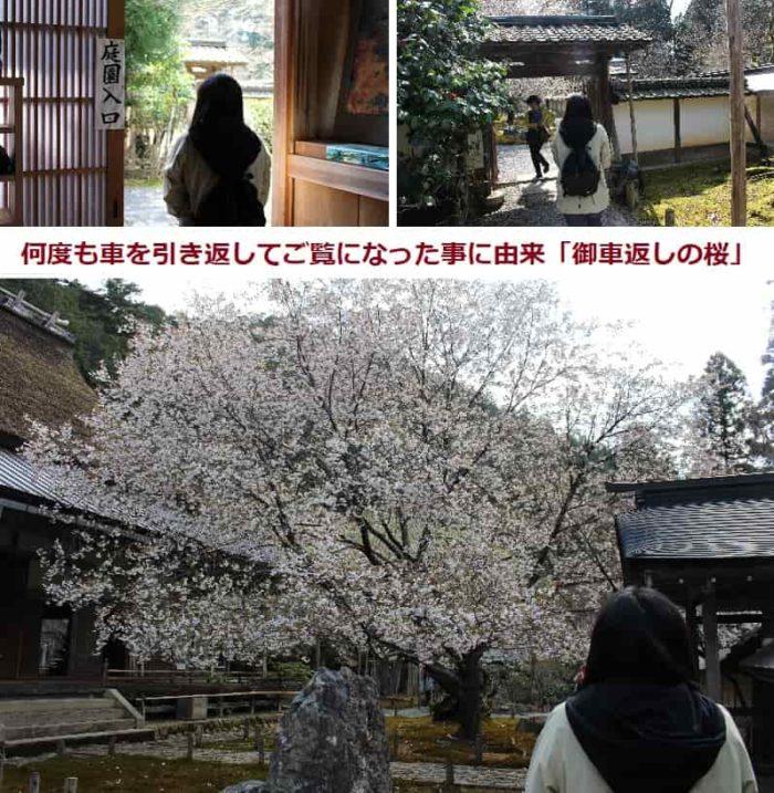 見どころのひとつ「御車返しの桜」です。