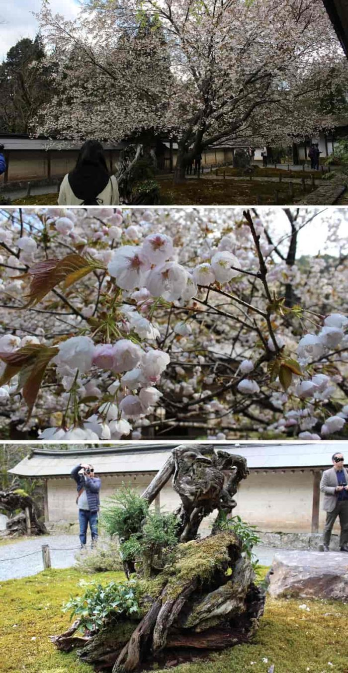 一重と八重が一枝に咲く御車返しの桜です。