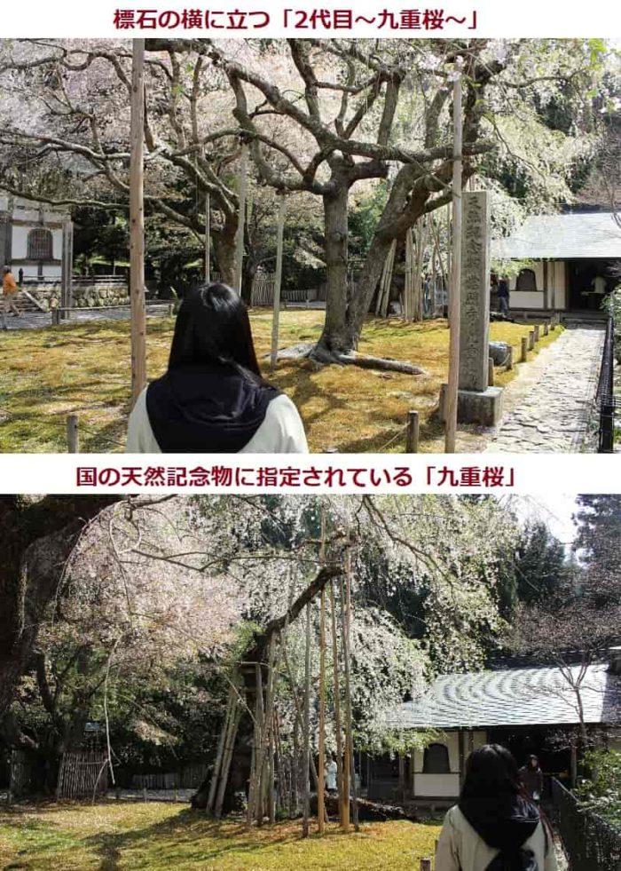 国の天然記念物に指定される九重桜です。