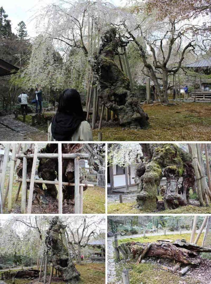樹齢650年の名桜「九重桜」です。