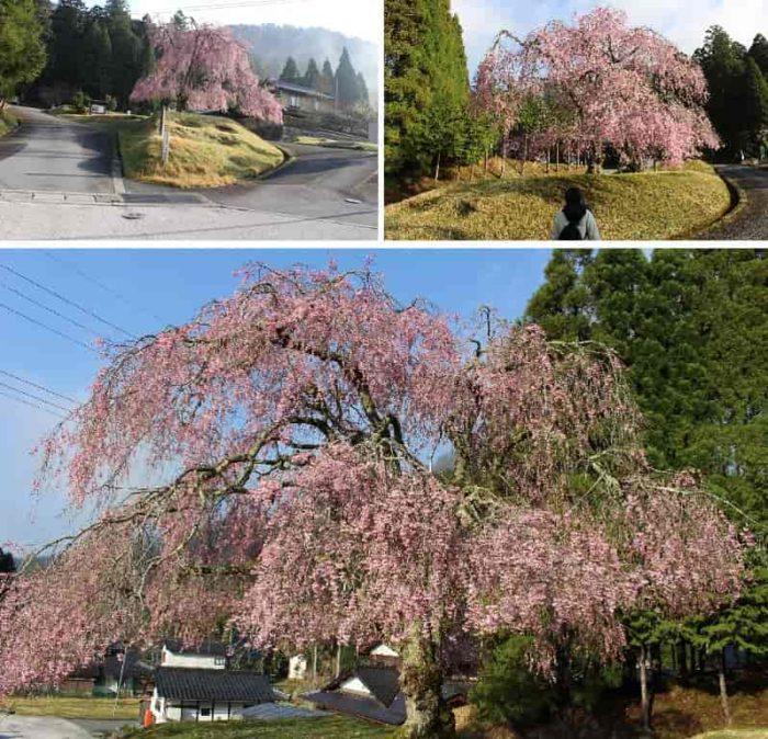 門前でお出迎え「八重紅枝垂桜」です。