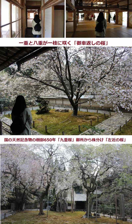 幾本もの一本桜が植えられた庭園です。