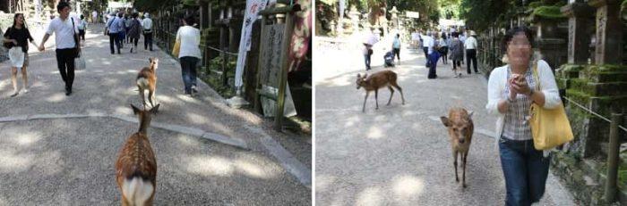 奈良公園の鹿に追い回されています。
