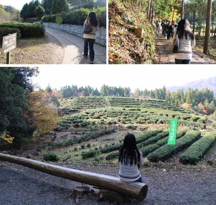 石田三成ゆかりの三献茶の茶畑です。