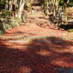 鶏足寺の参道の敷きもみじです。