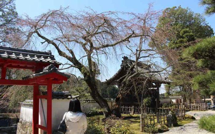 徳川家康公の御手植「しだれ桜」です。