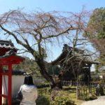 樹齢450年の名桜「しだれ桜」です。