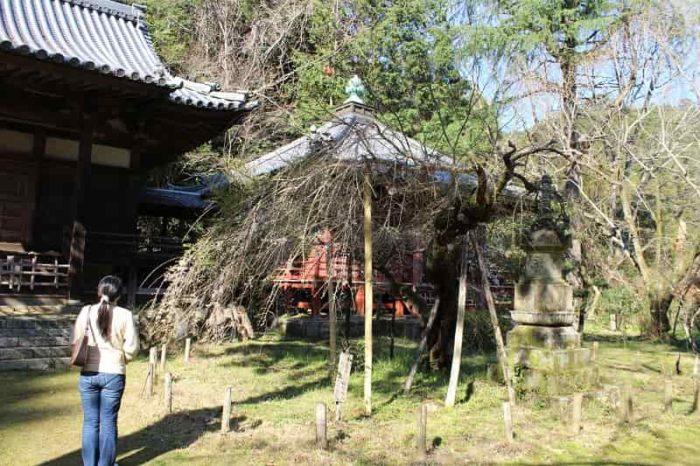 一本桜の名桜「高貴寺の臥龍桜」です。