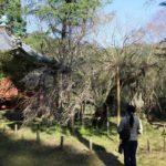 樹齢200の一本桜「高貴寺の臥龍桜」です。
