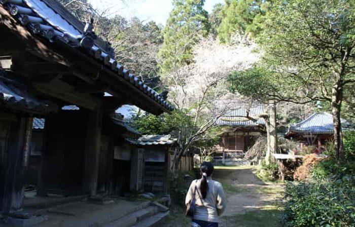 樹齢200年と言われる高貴寺の臥龍桜です。