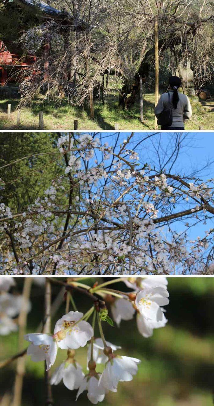 最盛期でも樹勢が寂しい臥龍桜です。