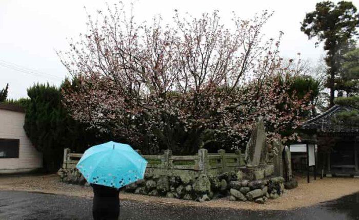 一年中花を咲かせる珍しい不断桜です。