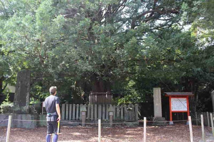 樹齢1000年を誇る御神木の梛です。