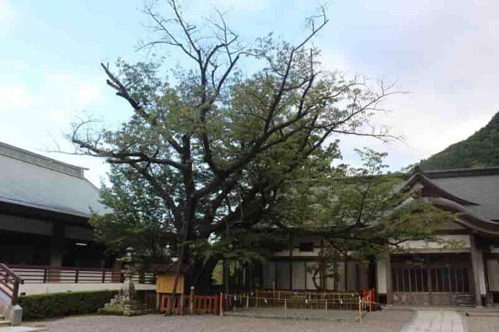 樹齢800年の名桜「秀衡桜」です。