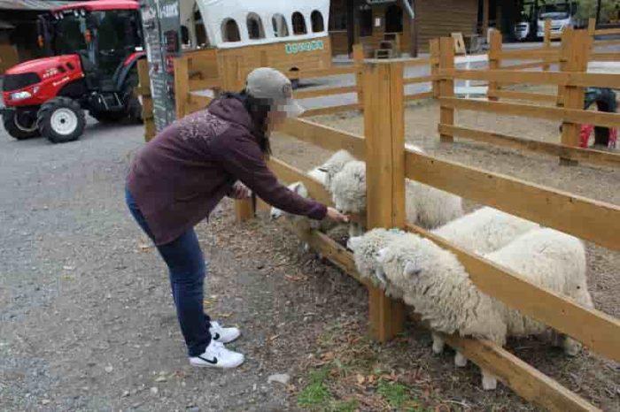 空腹の羊におやつを与えます。