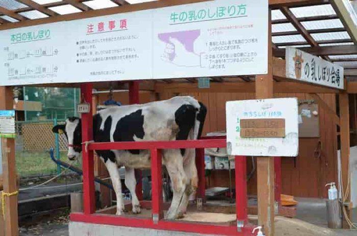 『乳しぼりの体験』用の乳牛です。