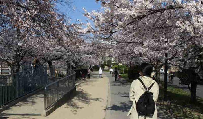 『万代池公園』の桜並木です。