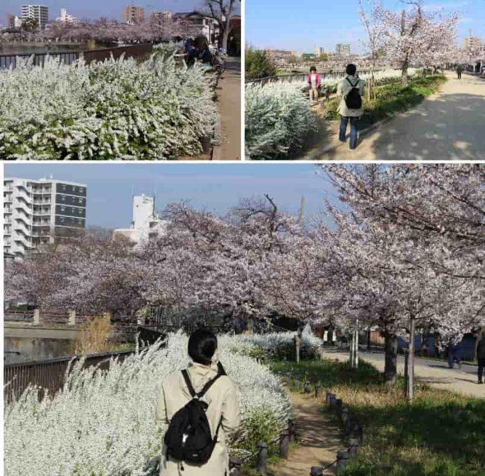 桜とユキヤナギの優美な姿です。