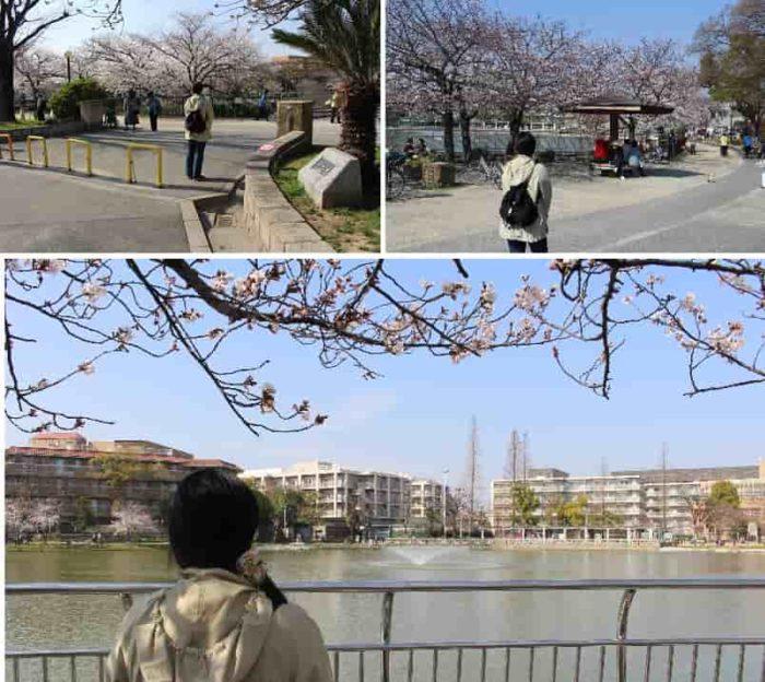 万代池を取り囲むような桜の木々です。