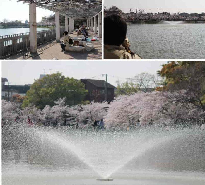 周囲の桜並木を一望できます。