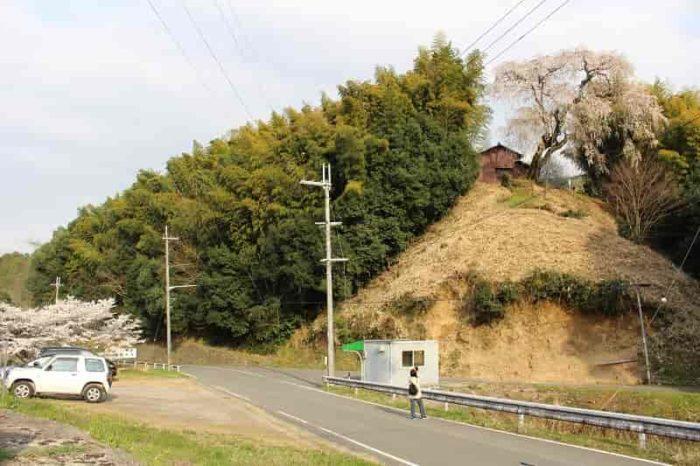 丘の上に立つ『満願寺の八講桜』です。