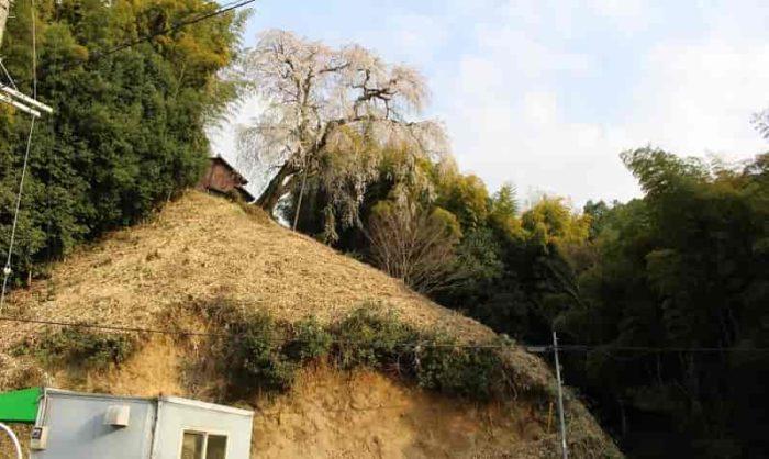 樹齢300年の『満願寺の八講桜』です。