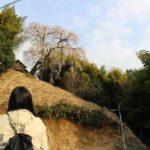 竹やぶを従えた『満願寺の八講桜』です。