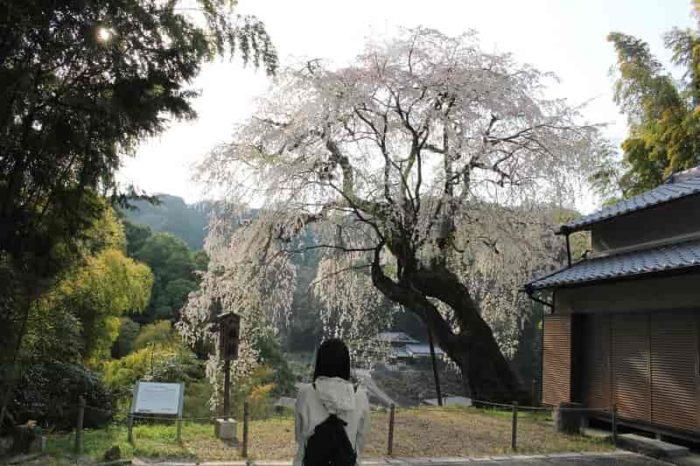 優雅な姿の『満願寺の八講桜』です。