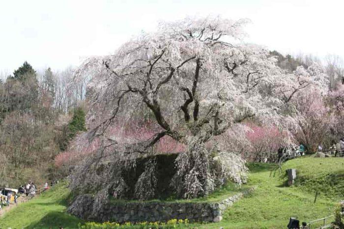 樹齢300年の『又兵衛桜』です。