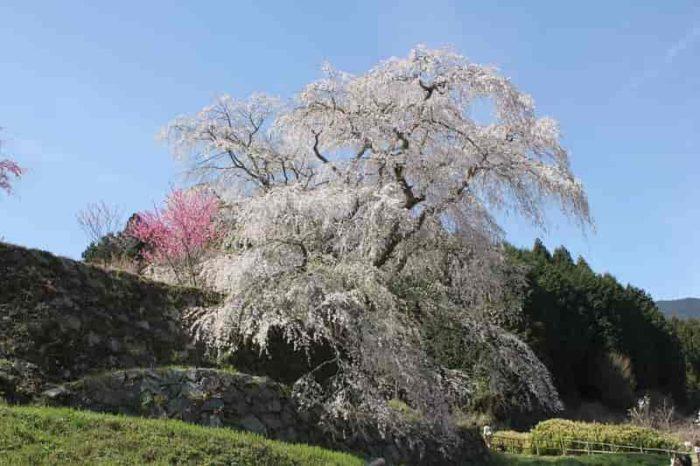 正式名称は『本郷の瀧桜』です。