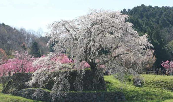 推定樹齢300年の又兵衛桜です。