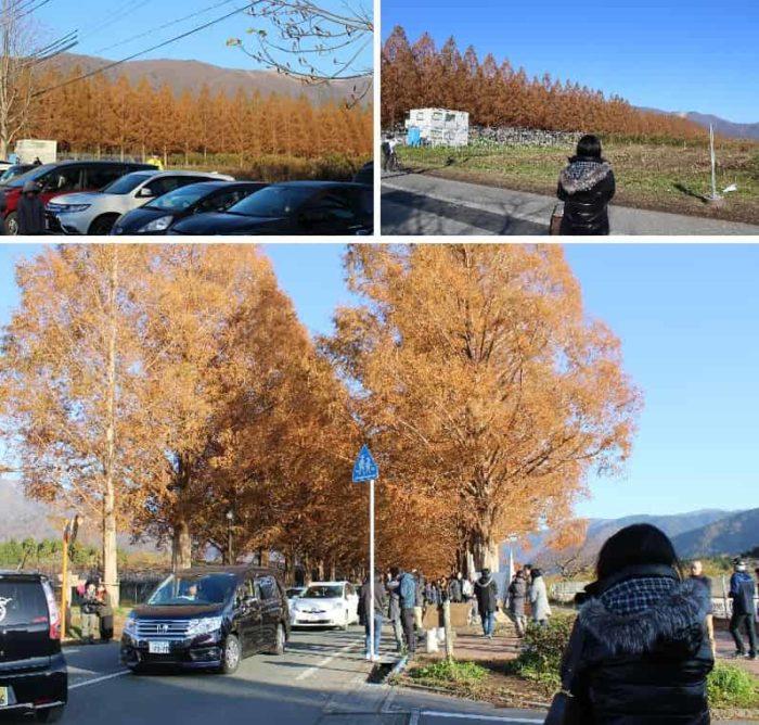 駐車場よりメタセコイア並木を観賞です。