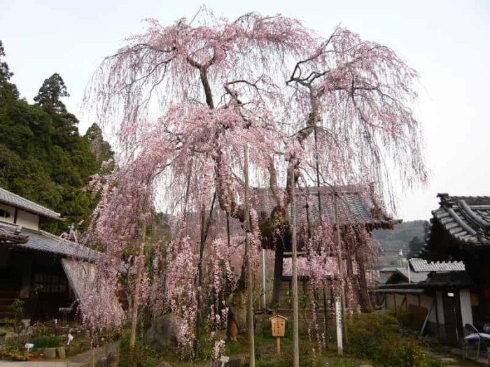樹齢300年以上の小糸しだれ桜です。