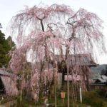 樹齢300余年の『小糸のしだれ桜』です。