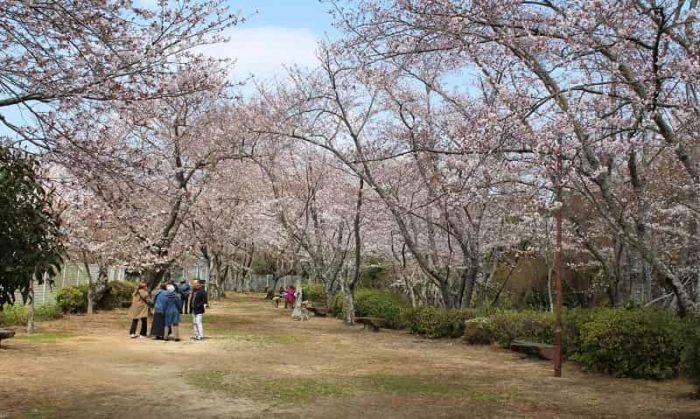 桜が咲き乱れる大井関公園の様子です。