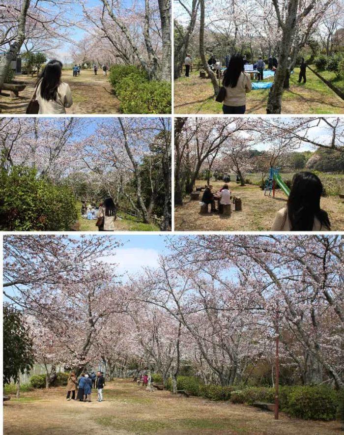 泉佐野随一の桜の名所「大井関公園」です。