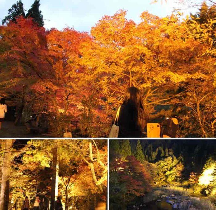 黄金色に輝く紅葉は超絶景です。