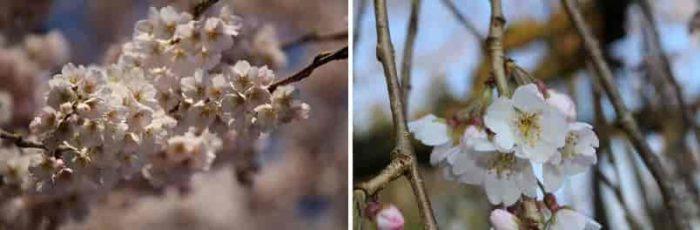 淡紅白色の桜の花びらです