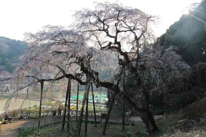 散策路から眺める奥山田のしだれ桜です。