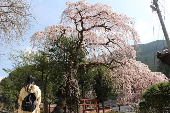 一本桜の名桜「来迎院のしだれ桜」です。