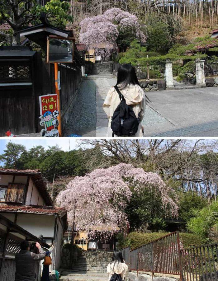 来迎院のしだれ桜のお出迎えです。