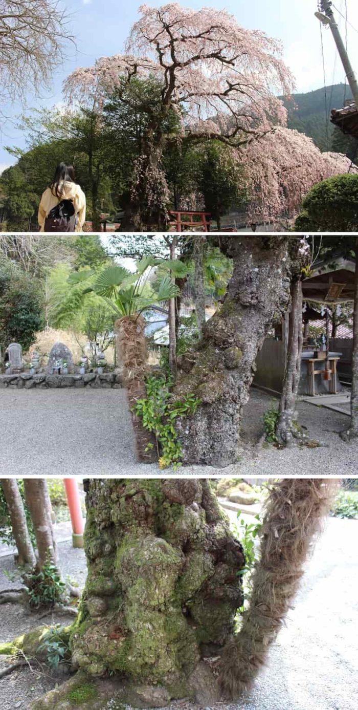 ソテツの木が仲良く自生しています。