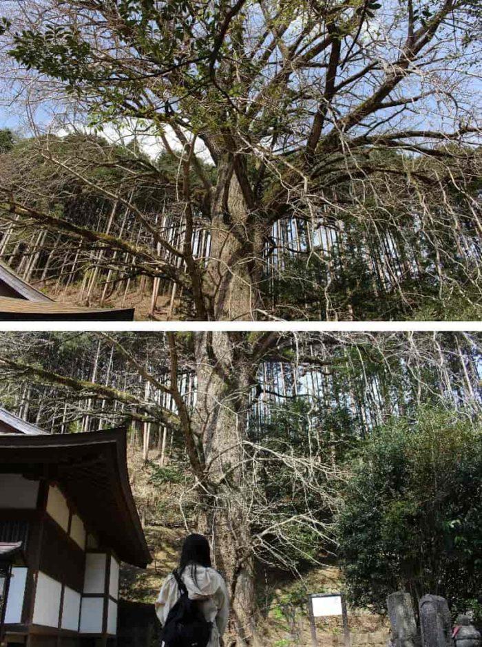 樹齢800年「大銀杏」の古木です。