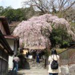 優雅な樹姿の来迎院のしだれ桜です。