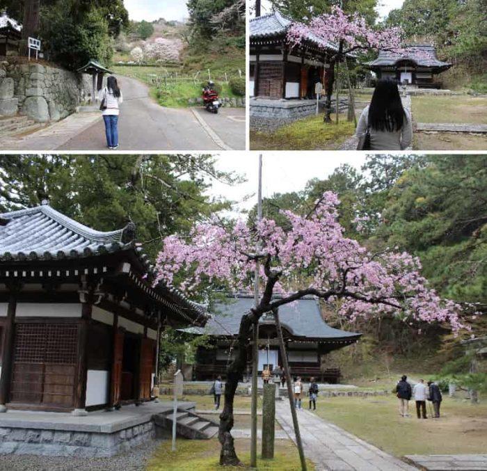 弘川寺の一本桜「隅屋桜」です。