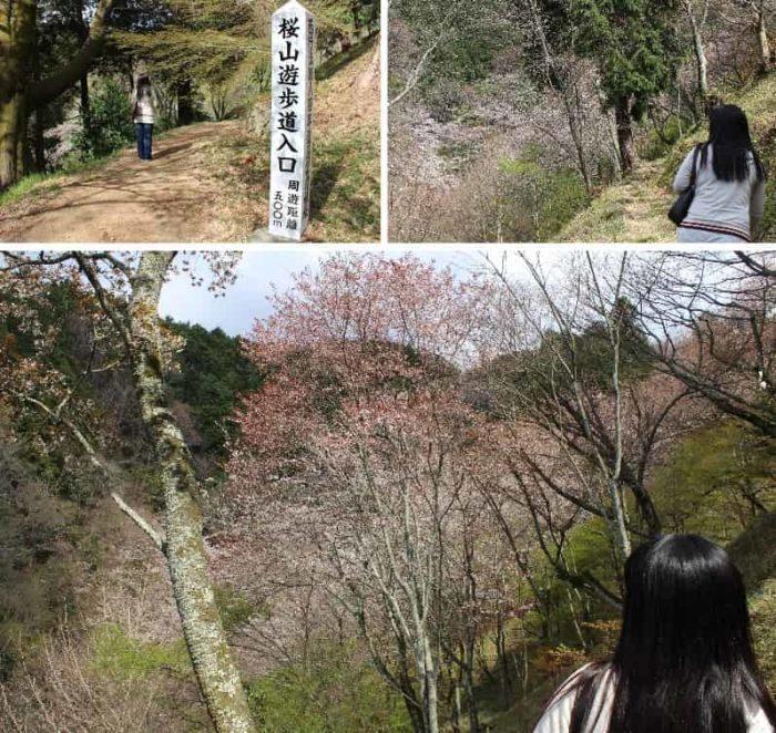 桜山遊歩道の桜の様子です。