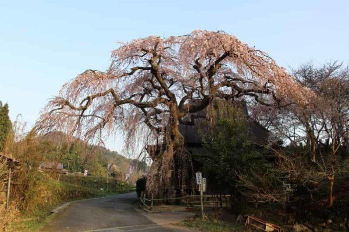 樹齢400年「西光寺の城之山桜」です。